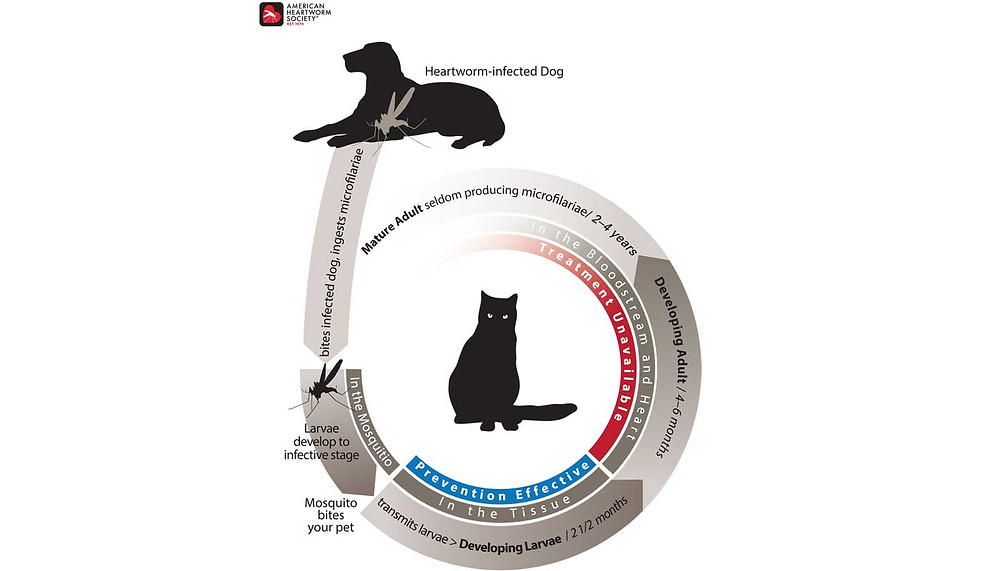 Stages of heartworm disease in Cats