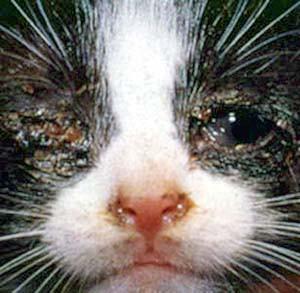 Kitten with feline viral rhinotracheitis