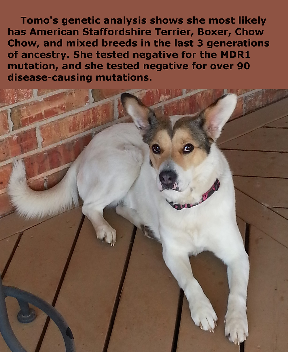 Mixed breed dog that has had genetic analysis performed
