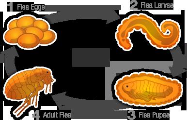 Life cycle of a flea