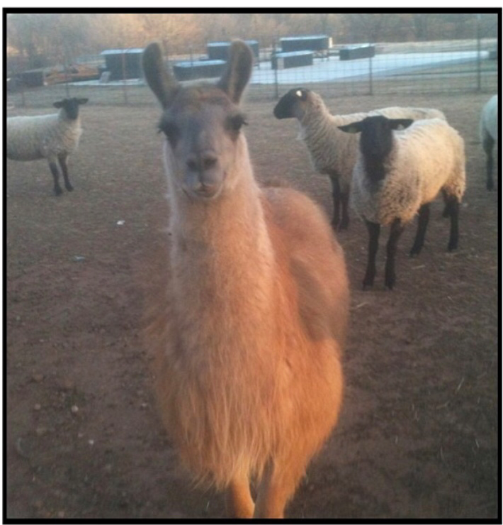 Archie, the resident Llama