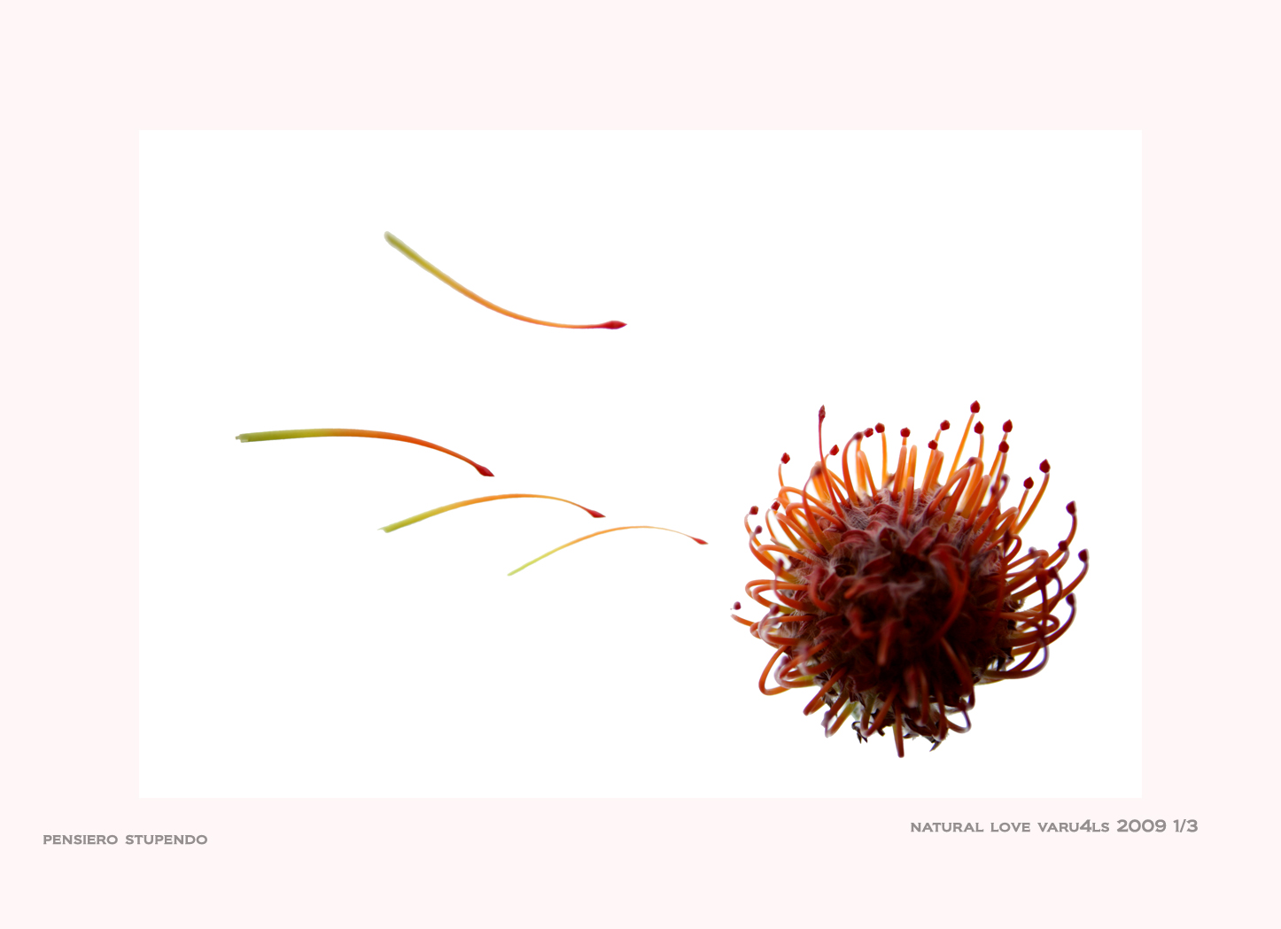 Flower - LS Siena