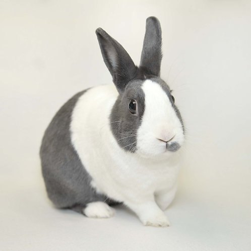 Sponsor a Dutch Bunny