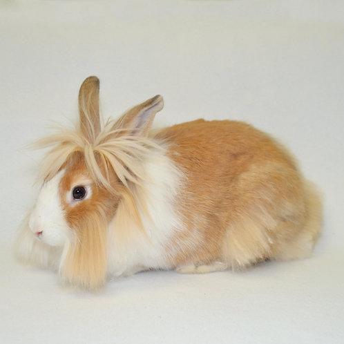 Sponsor a Lionhead Rabbit