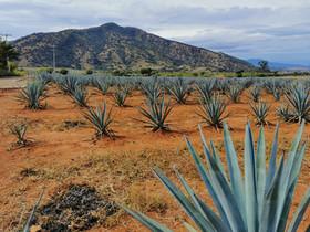 Campo de Tequila