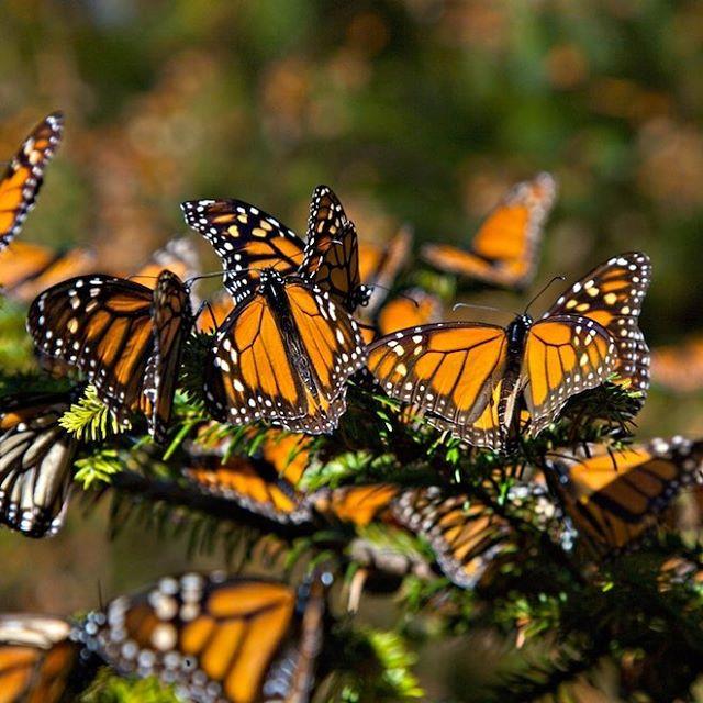Llegaron las monarcas de #michoacan #mx #colorful #color #colors #nofilter #nofilterneeded #photo #p