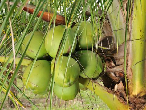 Vantagens do Coqueiro Híbrido