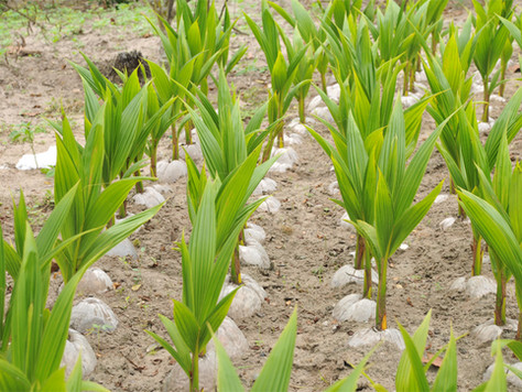 Procedimentos para realização da prática da hibridação na Fazenda Pedra D'água – Conde -BA