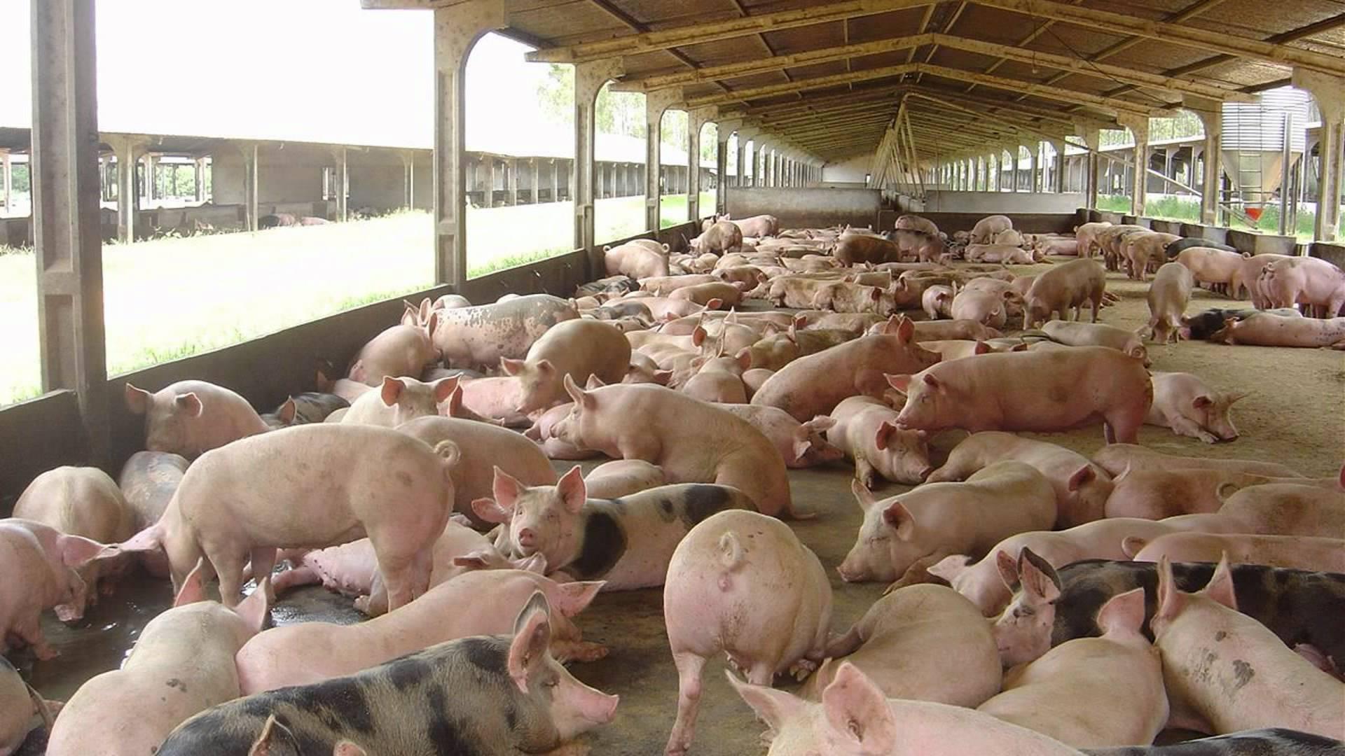 Venda de suínos vivos e abatidos