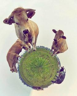 #cows #tinyplanet