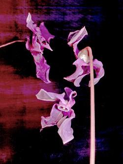 purples-BKabuki