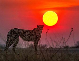 Cheeta edit.jpg
