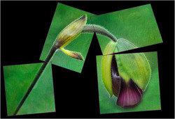 Orchid Bud Collage