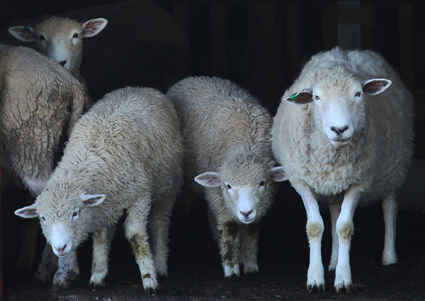Family of Sheep