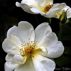 Cream Flowers and Bud