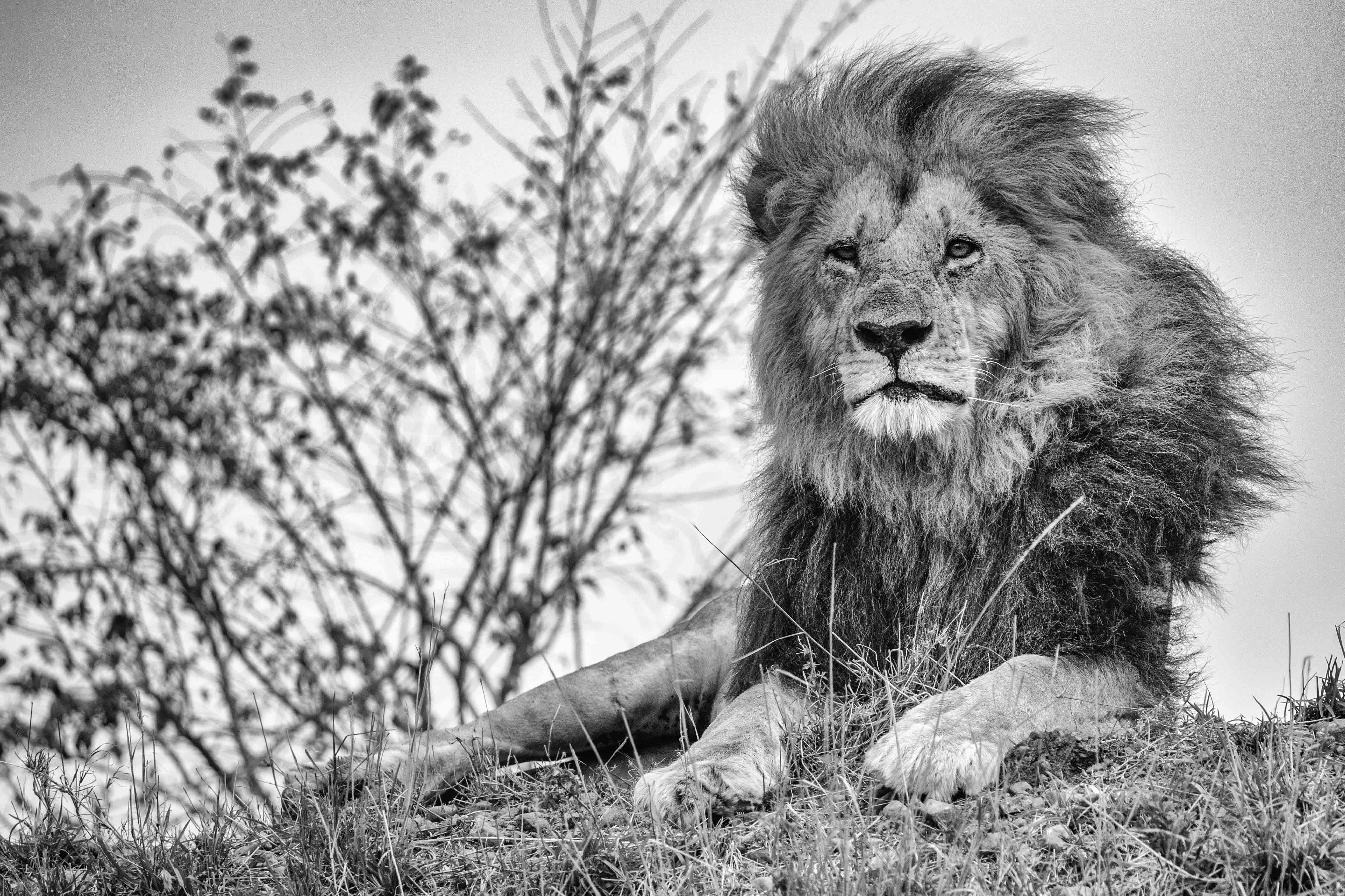 Mara Lion