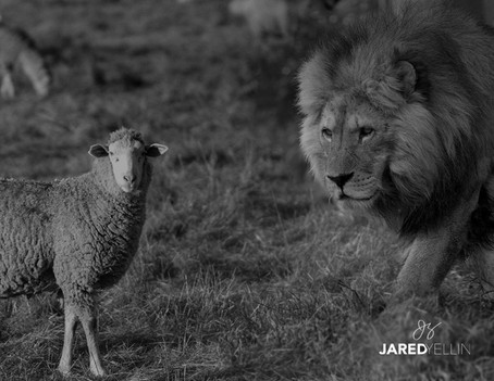 Sheep Or Lion