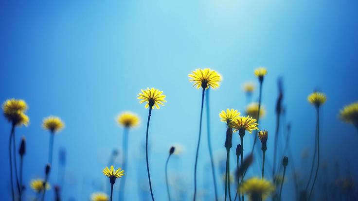 dandelions_flowers_blur_background_95540