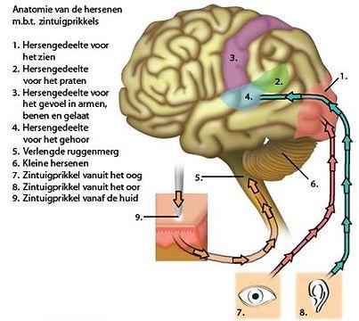 Hersenwetten
