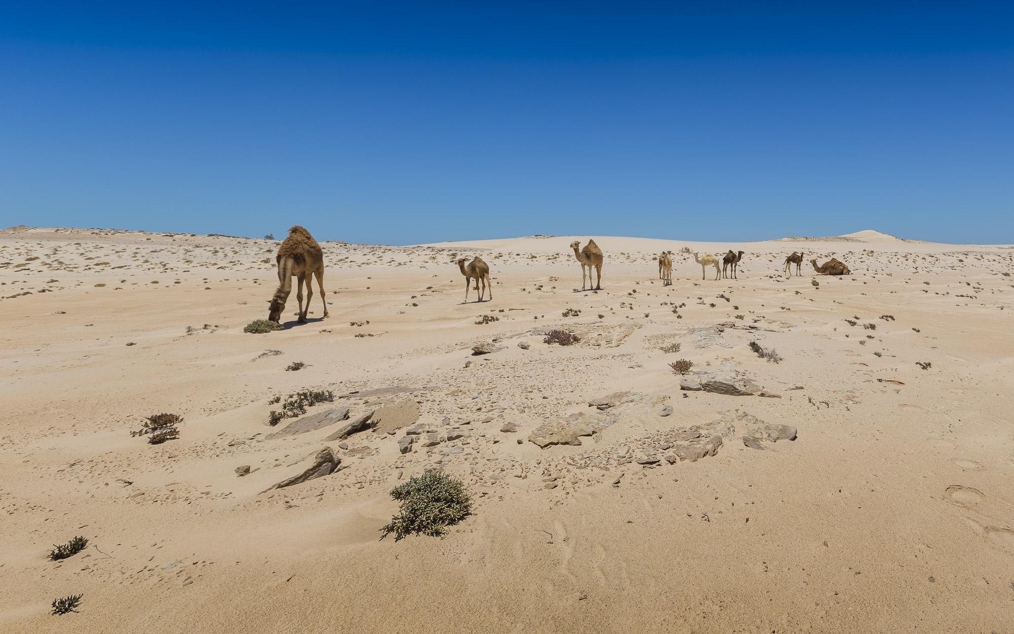 Le Palais Rhoul Dakhla | hotel spa | chameau