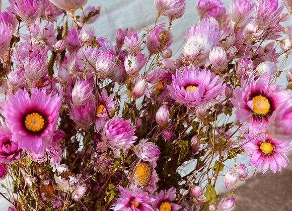 Rodanthe pink