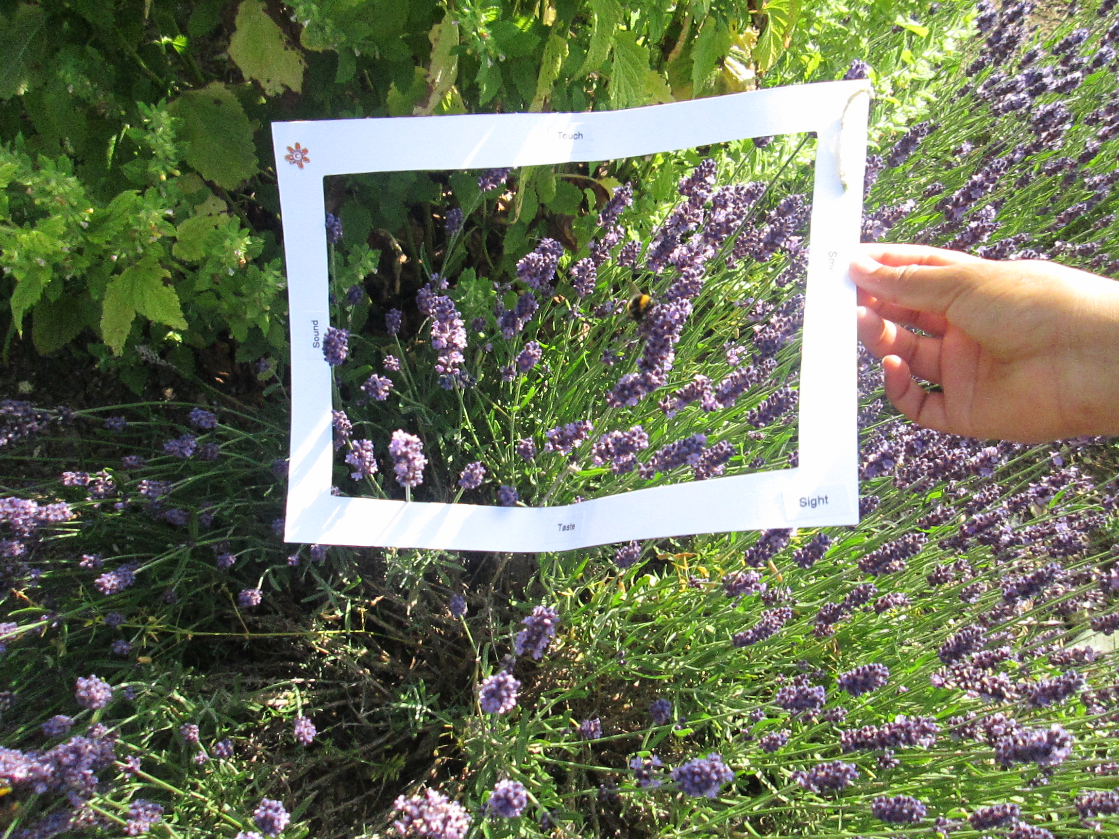 Focus on bee and lavender in sensory garden.JPG