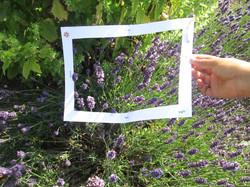 Focus on bee and lavender in sensory garden.JPG