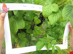Focus on blackcurrants sensory garden.JPG