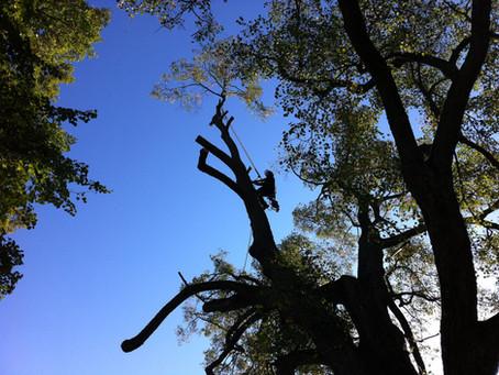 Hamling av ett jätte stort lindträd i Börlange.