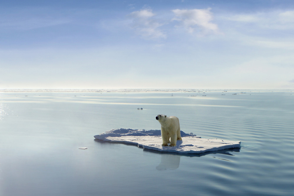 Polar bear afloat due to global warming