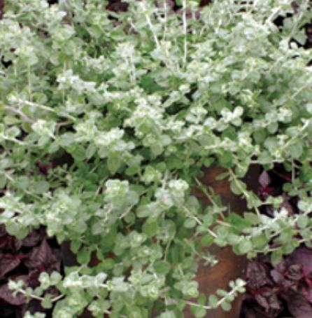 6 Benefits of Helichrysum