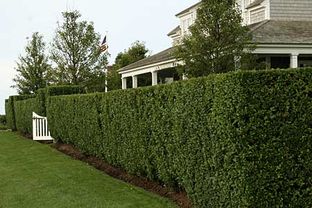 Hedge Triiming