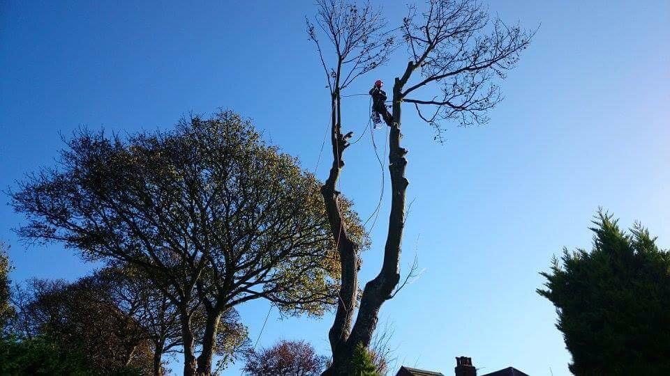 Twin Stemmed Ash Tree dismantle