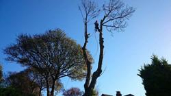 Twin Stemmed Ash Tree dismantle