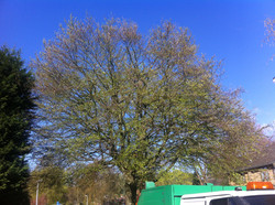 Mewp Beech reduction Before