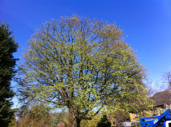 Mewp Beech reduction After