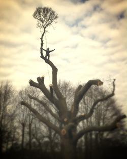 Tree Surgeon: Large Oak Pollard