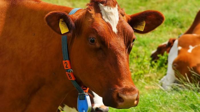 פרה מביטה לעבר המצלמה