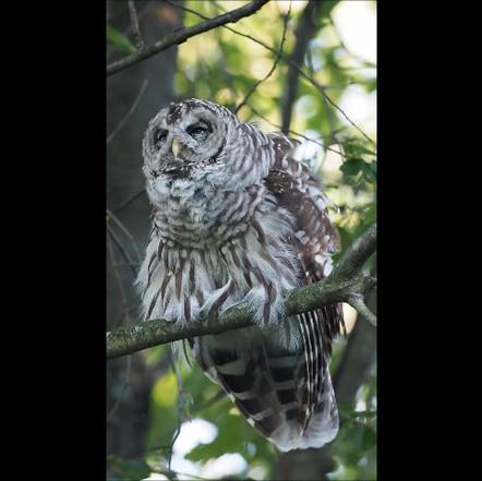 Barred Owl.mp4