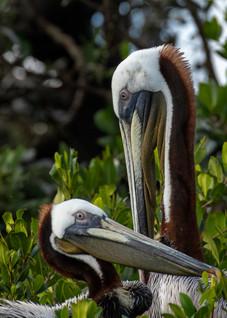 Brown Pelicans.jpg