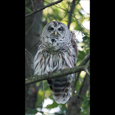 Barred Owl 2.MP4