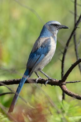 Florida Jay