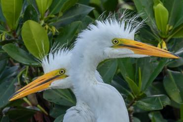 Great Egret nestlings
