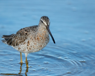 Shorty-billed Dowitcher