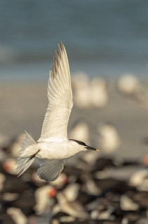 Sandwhich Tern.jpg