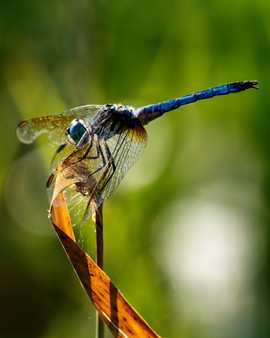 Blue Dasher - Male