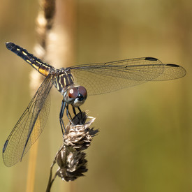 Blue Dasher - Female