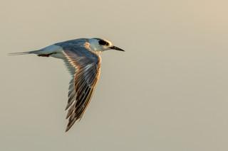 Forster's Tern.jpg