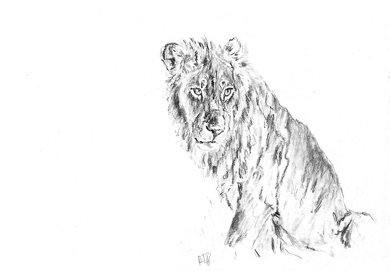 """lion#5"" - original charcoal sketch"