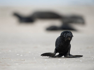 Get informed about the seal tragedy of Namibia